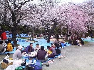 the cherry blossom festival sakura celebration