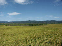 rice field japan
